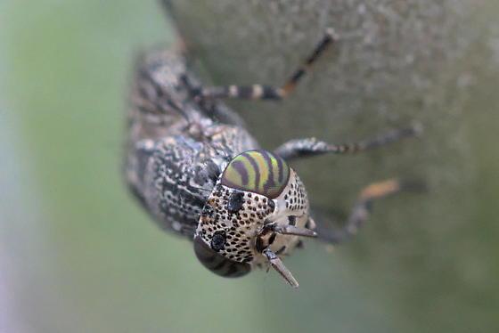 Fly 4mm - Stictomyia