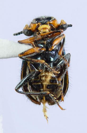 Blue/Purple Melyrid... - Collops hirtellus - male