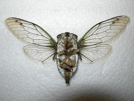 Tibicen winnemanna (MALE verso) - Neotibicen winnemanna - male