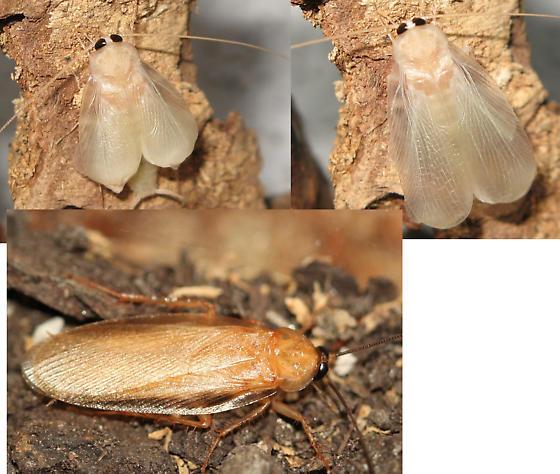 Adult  - Parcoblatta virginica - male