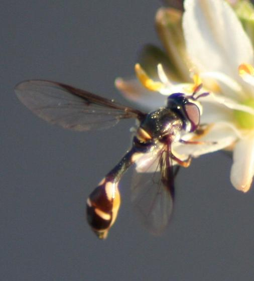 is this a wasp? - Dioprosopa clavata