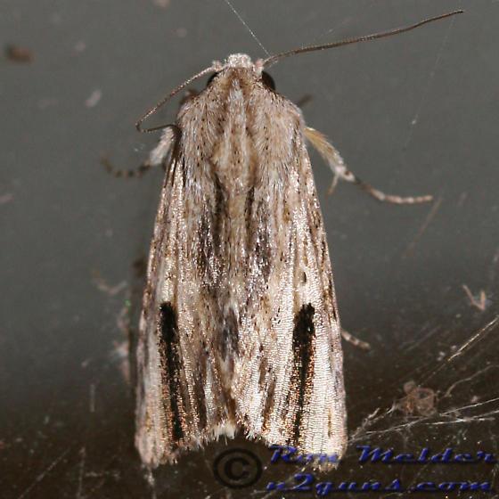 Moth 01 - Spodoptera eridania