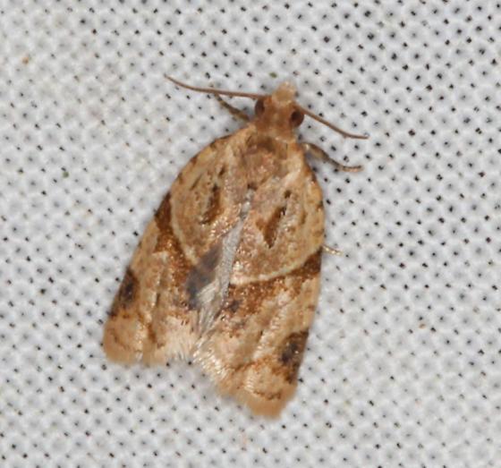 Tortricidae, Garden Tortrix - Clepsis peritana