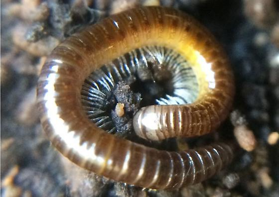 Millipede - Juliformia, possibly Julida? - Bollmaniulus