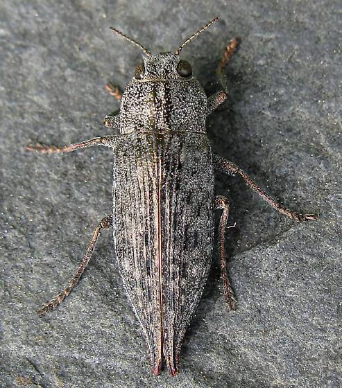 Metallic Wood Boring Beetle - Dicerca tenebrica