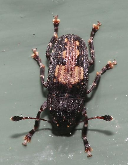 Beetle - Piesocorynus plagifer - female