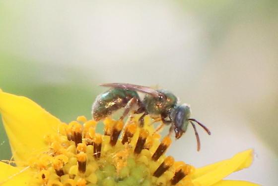 Bronze-y Sweat Bee - Augochlorella
