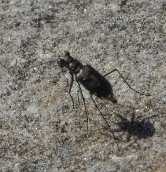 Any chance for an ID on this long-legged beauty? - Cicindelidia rufiventris