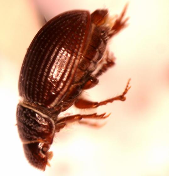 California Coastal Dune Beetle - Tesarius oregonensis