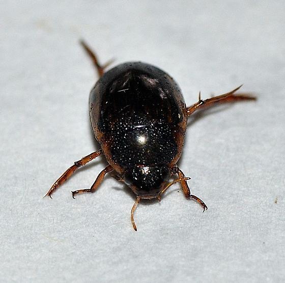 Hydrophilidae  ? - Tropisternus lateralis