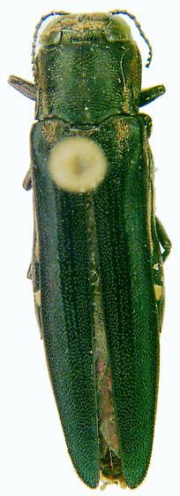 Agrilus difficilis Gory - Agrilus difficilis - female