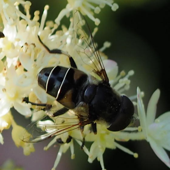 Syrphidae in Southern Wisconsin - Eristalis dimidiata