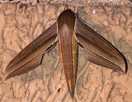 Hawk moth - Xylophanes tersa
