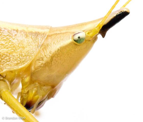 Neoconocephalus exiliscanorus - male