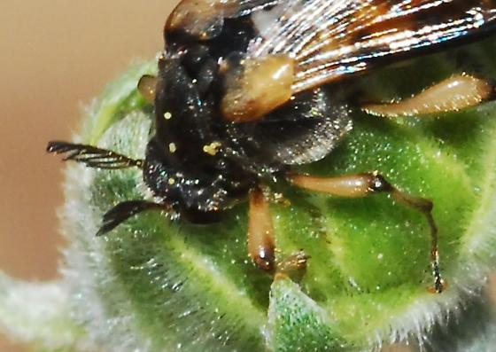 Meet Bizarro, a fly I guess - Ripiphorus rex