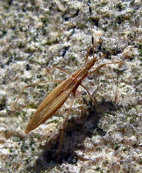 Stilt Bug - Berytinus minor