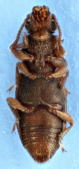 root eater - Monotoma arida