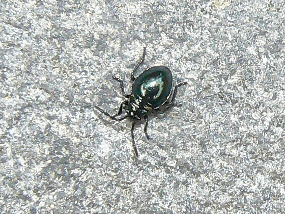 tiny, shiny beetle - Largus