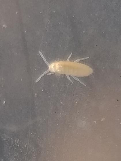 White Springtail - Pseudosinella