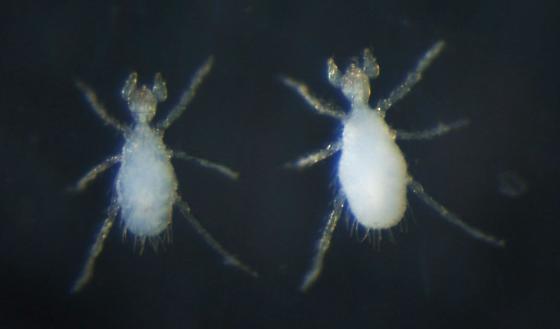 Erythraeidae larvae?
