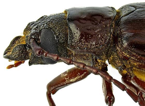 Female, Mallodonini? - Nothopleurus madericus