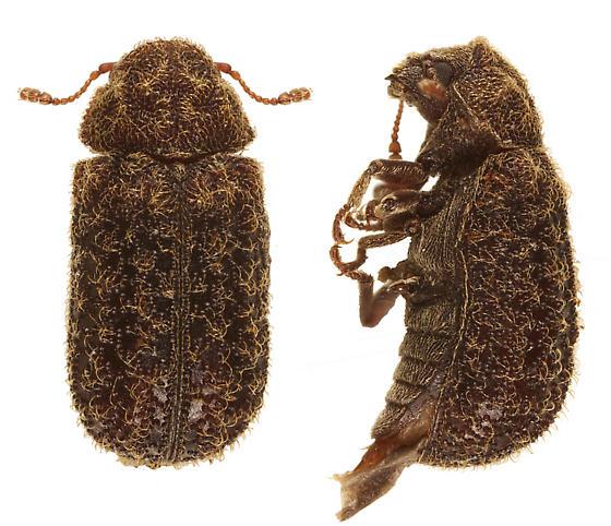 unknown beetle 1 - Endecatomus rugosus