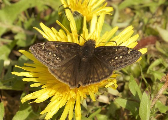 moth 7  - Erynnis juvenalis