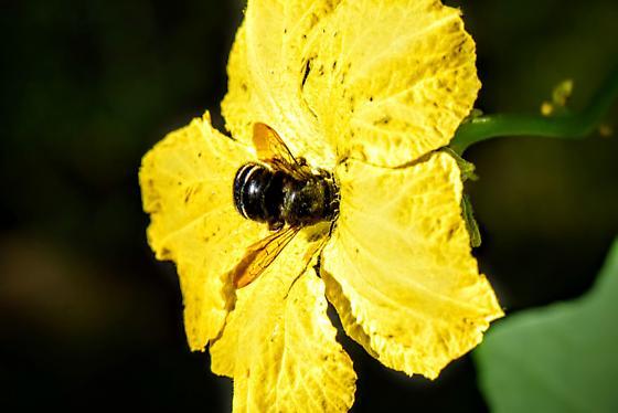 Megachile? - Xylocopa tabaniformis