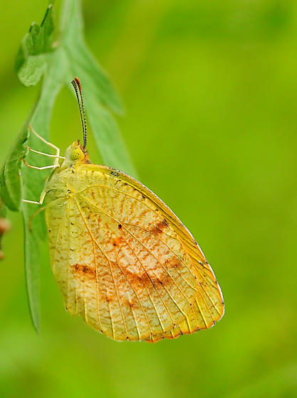 Butterfly ID - Abaeis nicippe