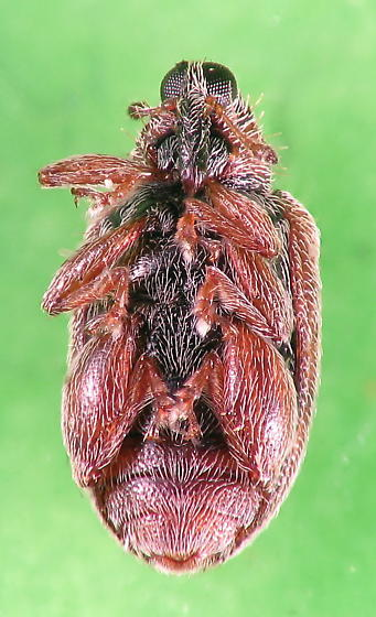 Charlie Brown weevil - Orchestes steppensis