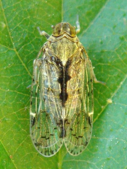 Cixiid Planthopper - Melanoliarus placitus
