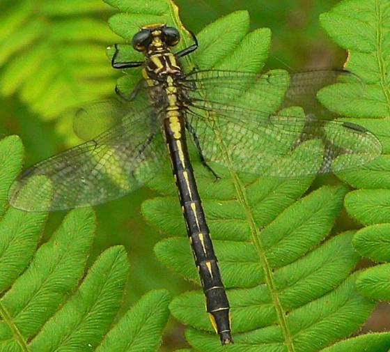 Rapids Clubtail - Phanogomphus quadricolor - female