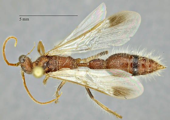 Chyphotes - male