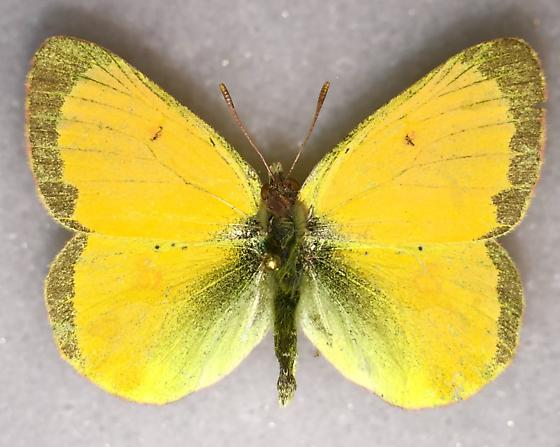 Canadian Sulfur - Colias canadensis - male