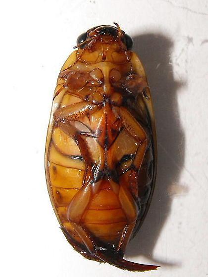 Dytiscid - Dytiscus cordieri - male