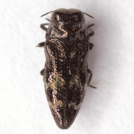 Taphrocerus nicolayi Obenberger - Taphrocerus nicolayi