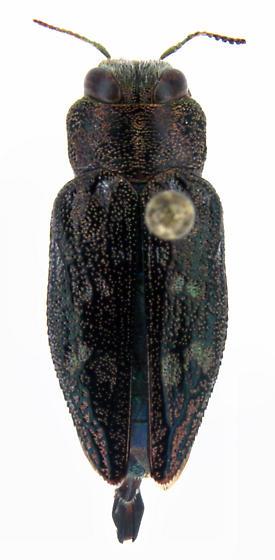 Chrysobothris femorata Olivier - Chrysobothris femorata - male