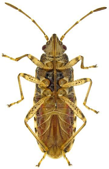 Female, Neortholomus - Neortholomus nevadensis - female