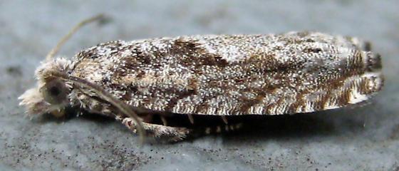 Moth - Catastega aceriella