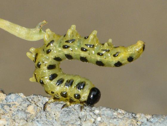 larva053018 - Craesus latitarsus