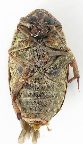 Amblycerus? - Amblycerus robiniae