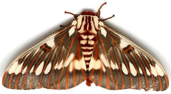 Citheronia splendens sinaloensis? - Citheronia splendens