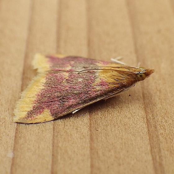 Crambidae: Pyrausta pythialis - Pyrausta pythialis