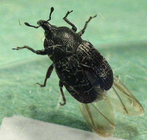 punctate Curculionidae - Baris interstitialis