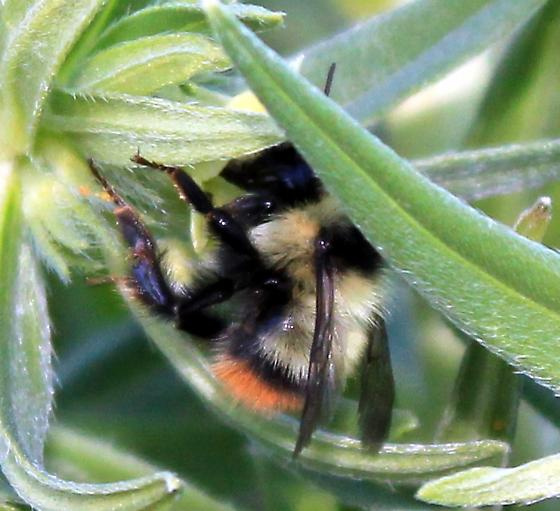 Bombus mixtus - Bombus - female