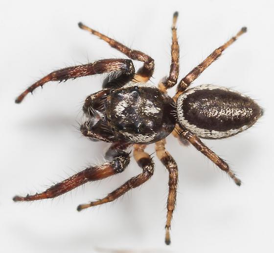 Jumping Spider - Eris militaris - male