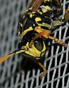 Paper wasp? - Polistes dominula - male