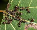Smoky poplar aphid - Chaitophorus populicola
