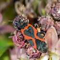 Milkweed Bug - Oncopeltus fasciatus - Lygaeus kalmii