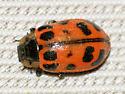 leaf beetle - Chrysomela knabi